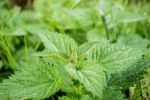 nettle powerful healing herbs