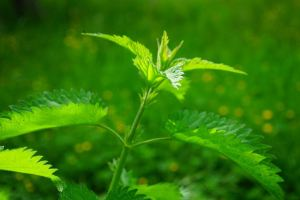 nettle powerful healing herbs