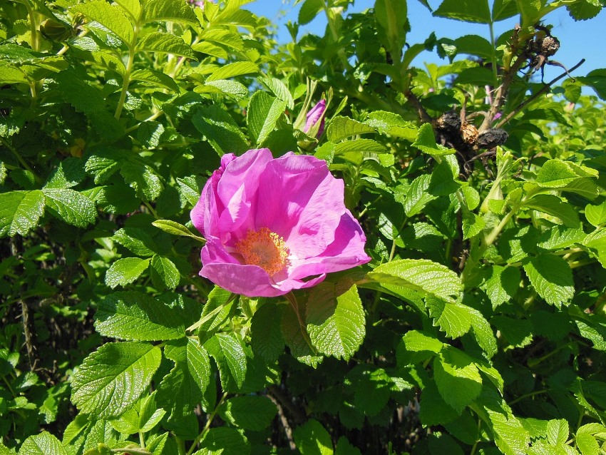 rosa rugosa powerful healing herbs