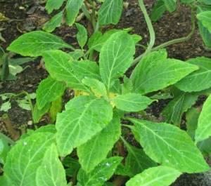 Salvia divinorum - Herba de Maria