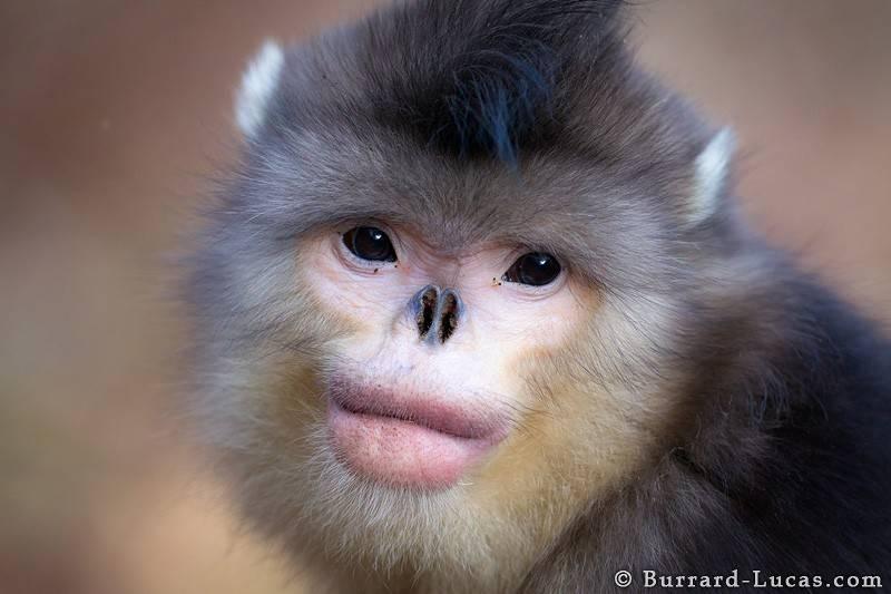 Snub Nosed Monkey