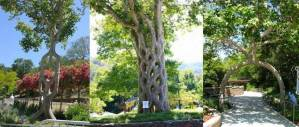 06-Axel Erlandson tree park