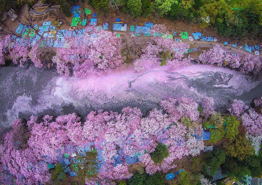 Sakura River - Photos of Japan's Cherry Blossom