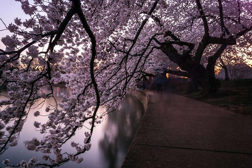 Tunnel of cherry blossoms