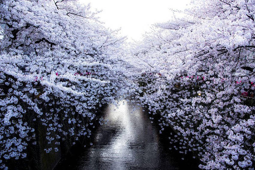 White Wall - spring-japan-cherry-blossoms-national-geographics