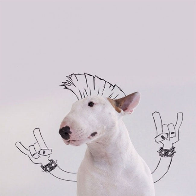 Jimmy Bull Terrier 1