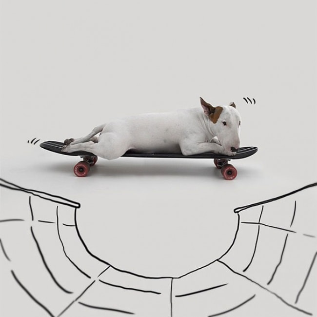 Jimmy Bull Terrier 14