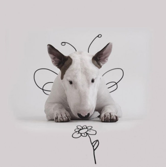 Jimmy Bull Terrier 15