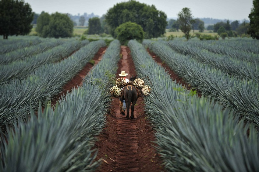 Tequila Plant Sweetener Could Help Diabetics