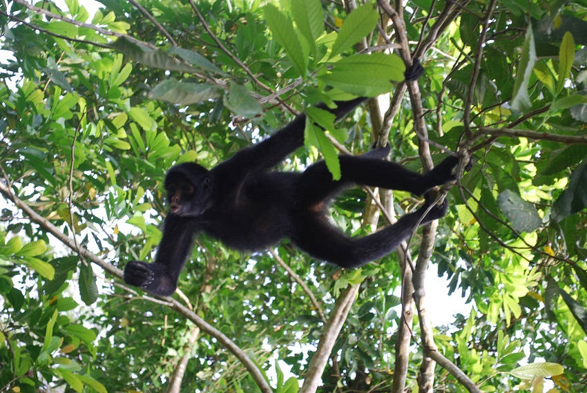 Peruvian Black Spider Monkey