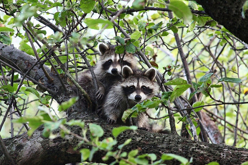 Raccoons Will Make You Smile