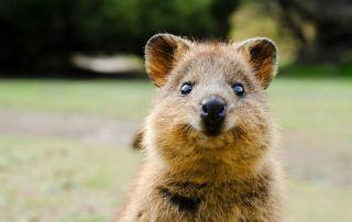 Quokka animal facts