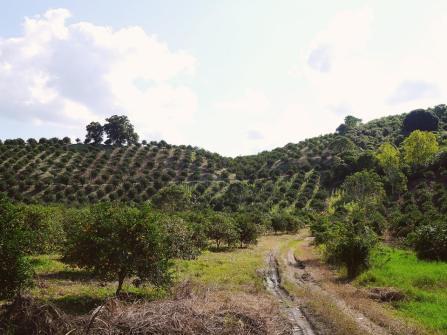 Rolling hills of citrus trees