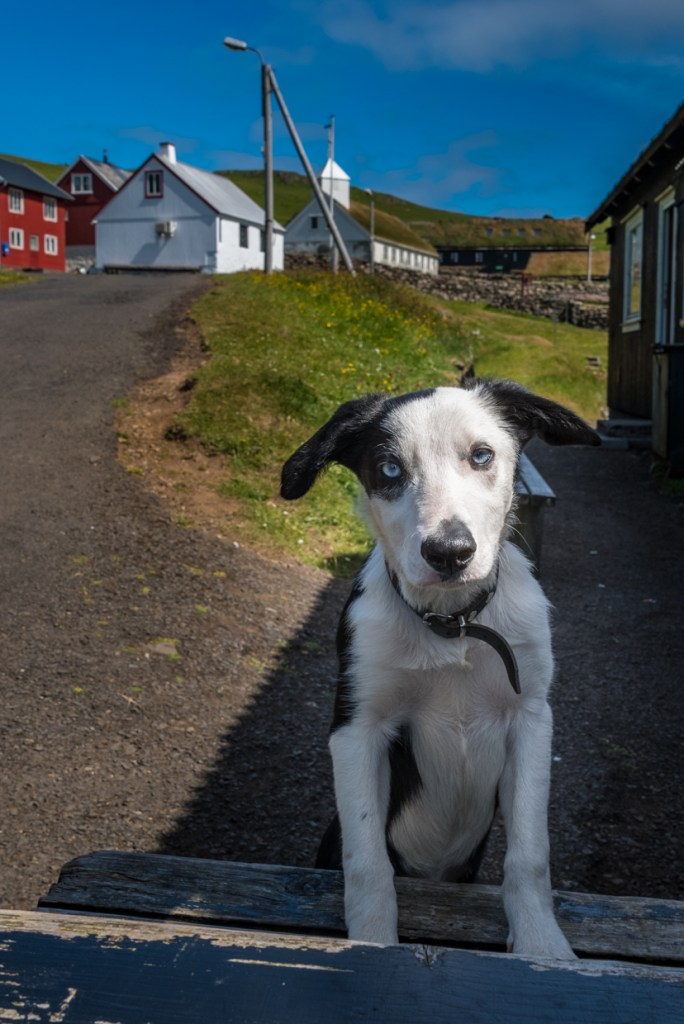 A cute dog, a resident of Mykines
