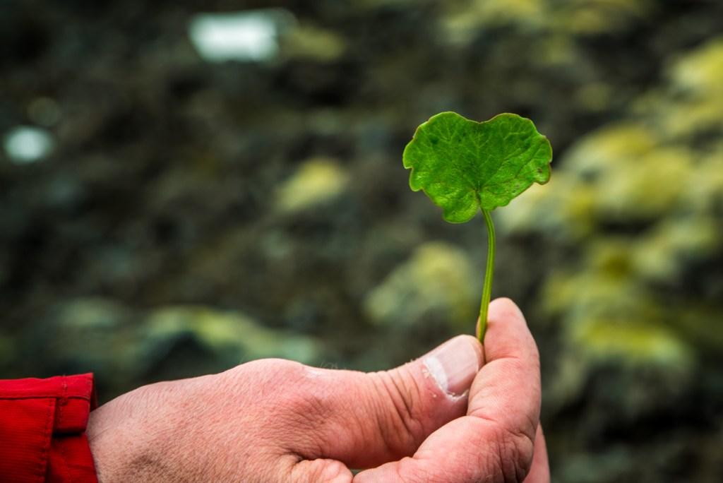 Our guide holding a nasturtium leaf