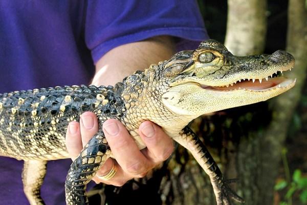 Facilitator holding a small alligator
