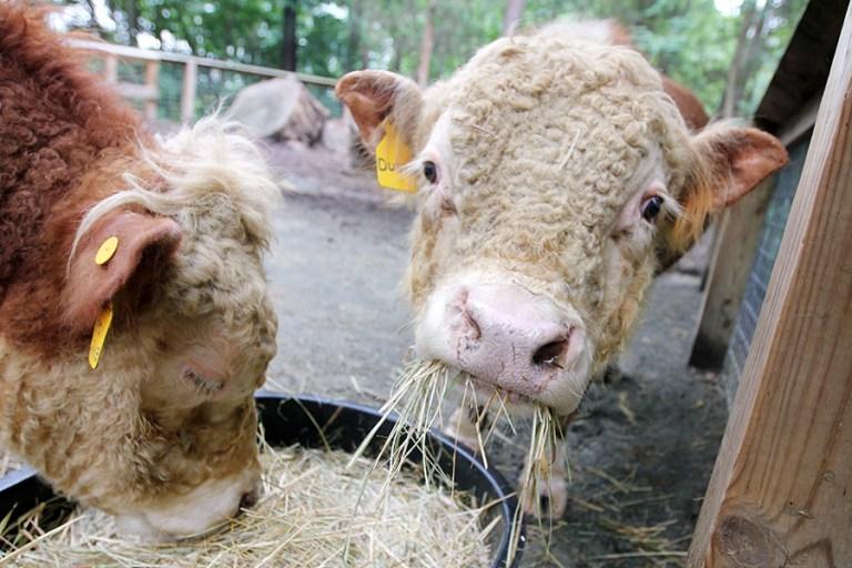 Two miniature Hereford steers eat hay.