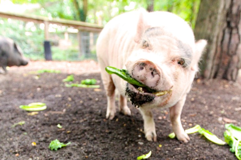 Pig eats a green vegetable, looking at the camera.