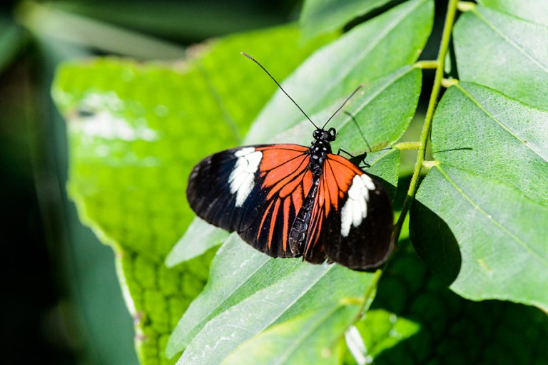 Closeup of an orange and black longwing butterfly.