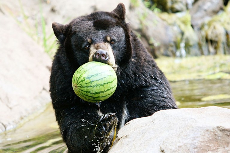 A black bear holds an entire watermelon in its mouth.