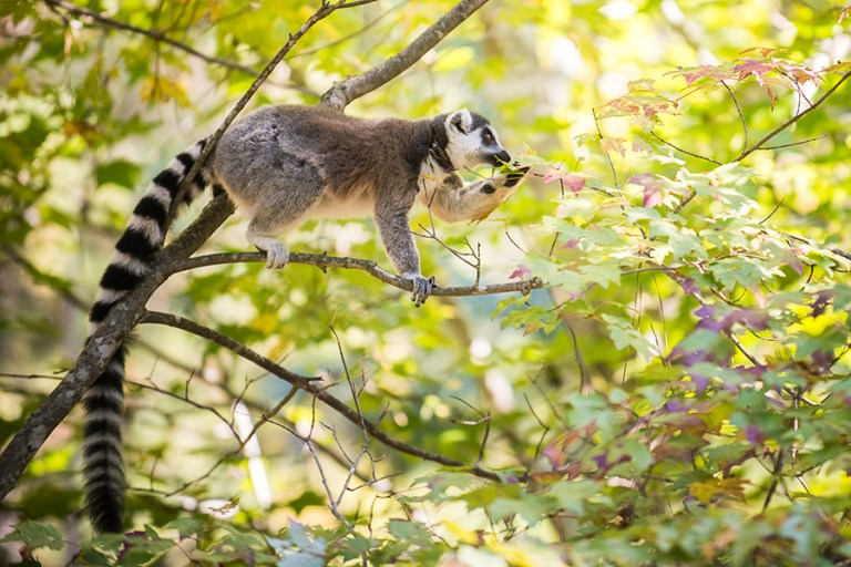 Ring-tailed lemur in a tree eats a leaf.