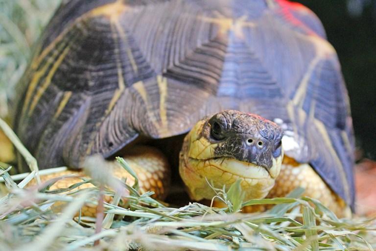 Closeup of a radiated tortoise.