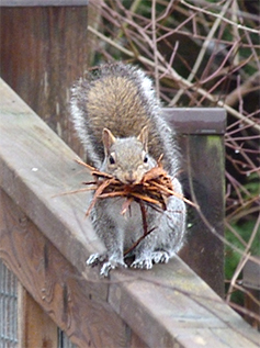 Squirrel with mouthful of natural materials for nest building.