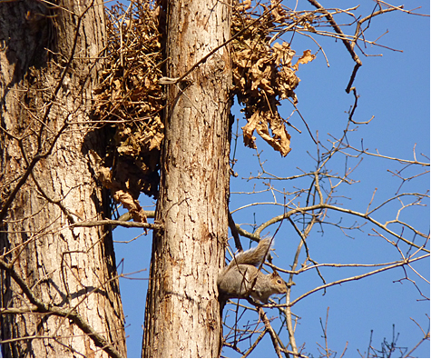 Squirrel nests in top of tree