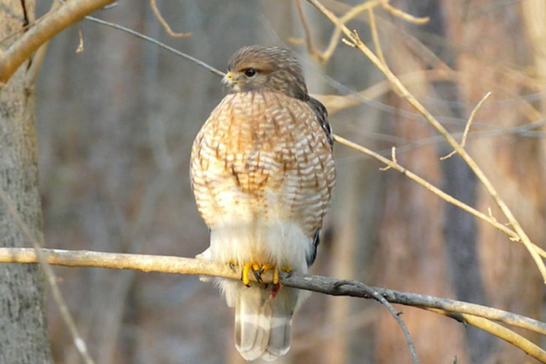 Adult red-shouldered hawk showing no fear.
