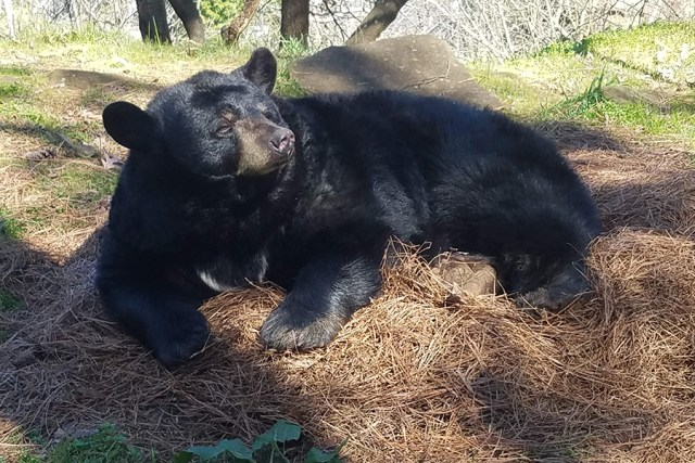 Bear in hay bed