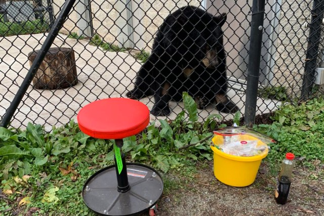 Bear sits near fence, stool and bucket with medications nearby