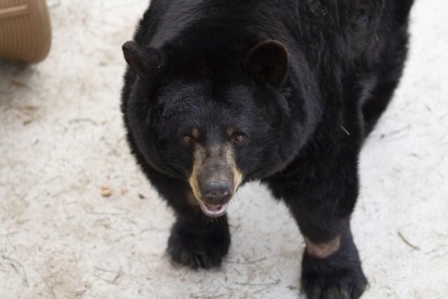 Bear looks into camera