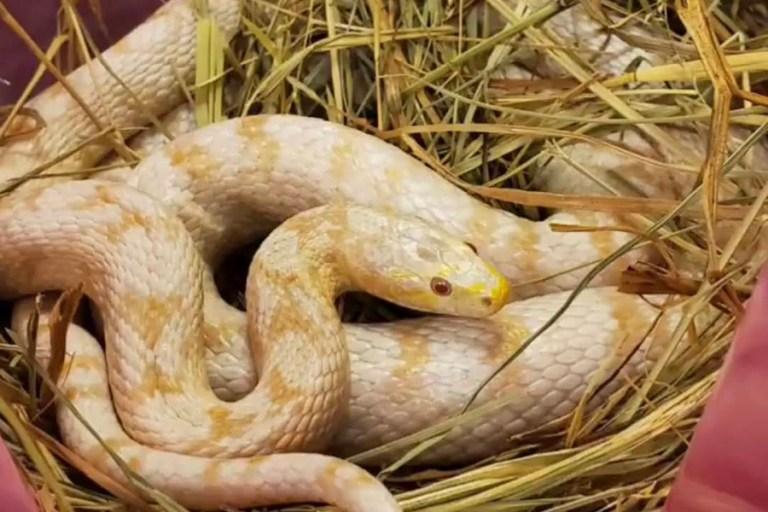 Albino corn snake looks at camera