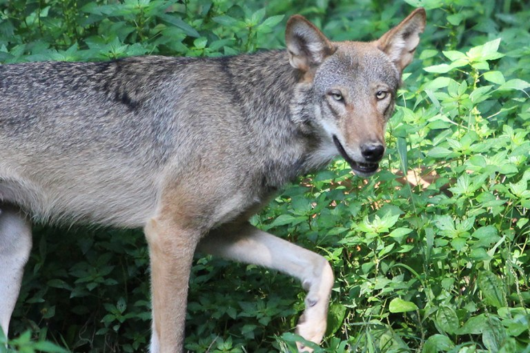 A red wolf at the Museum of Life and Science