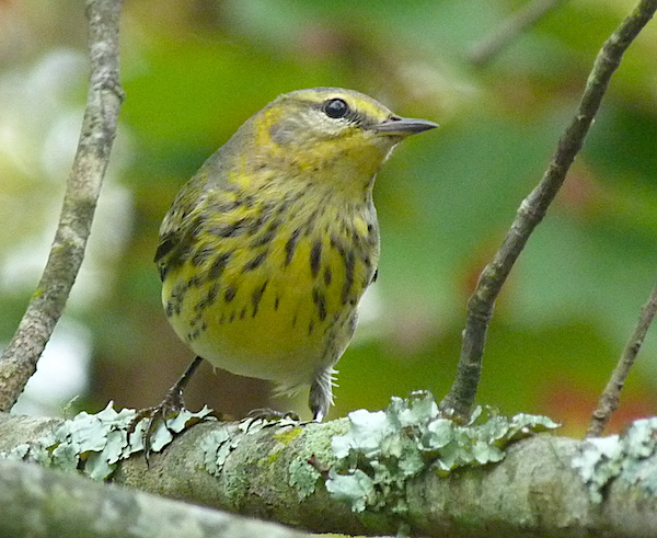Young male Cape May warbler