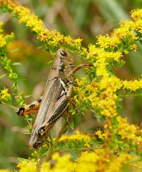 Differential grasshopper on goldenrod