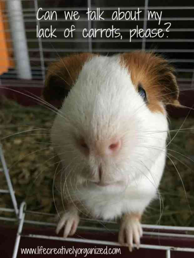 Larry the guinea pig wants you to know how to take care of piggies.