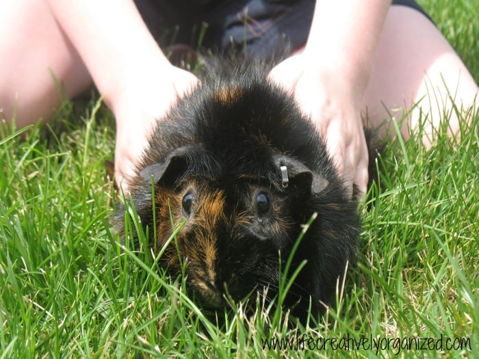 Penny, our first Guinea pig.