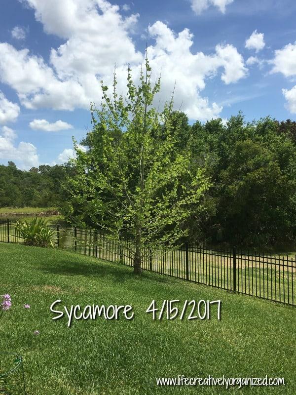 Sycamore tree 2017