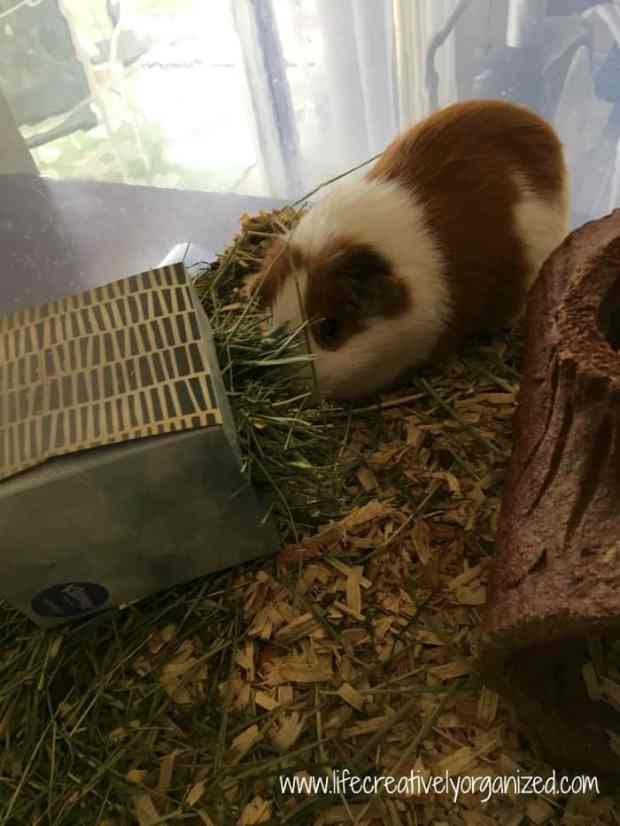 Did you know hay is a key part of a Guinea pig's diet? They need it for digestion and tooth growth. So, here is an easy way to make a Guinea pig hay box!