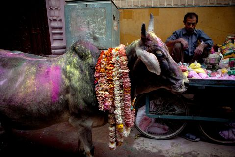 hinduism holy cows veganism in india