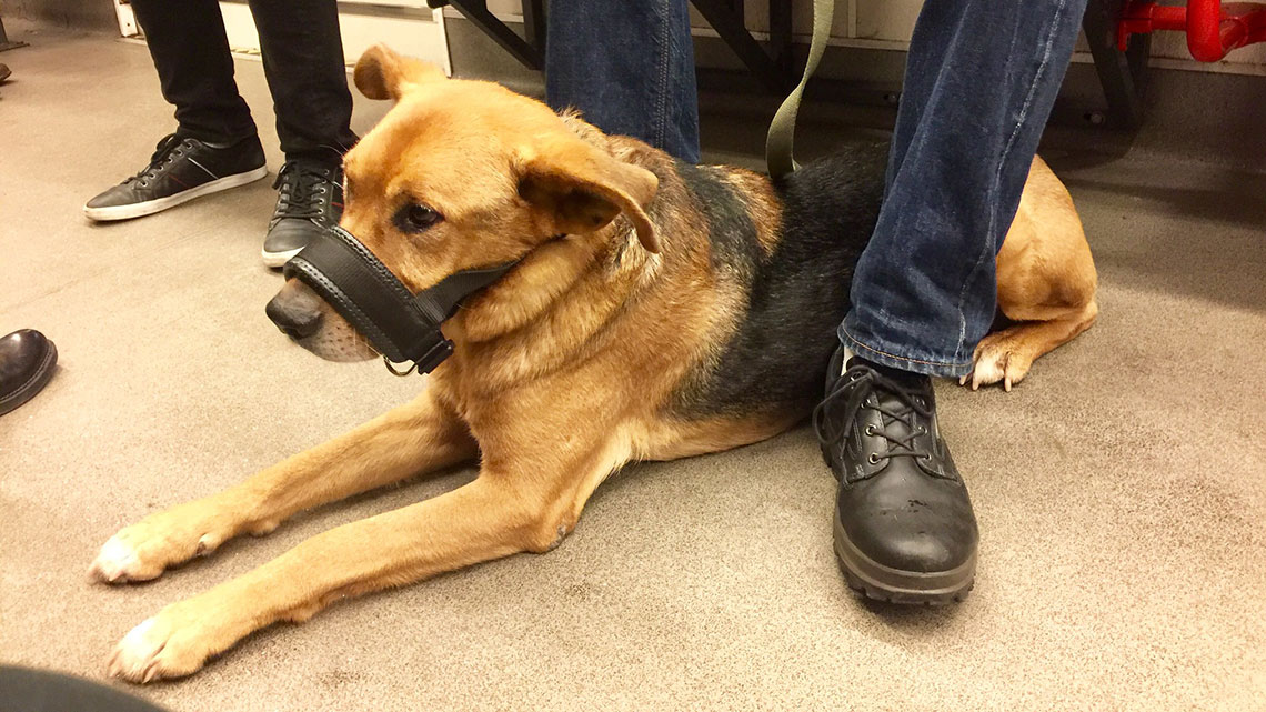 Milano. Anche con il nuovo regolamento i cani - di qualsiasi dimensione - dovranno sempre avere con sé o indossare la museruola