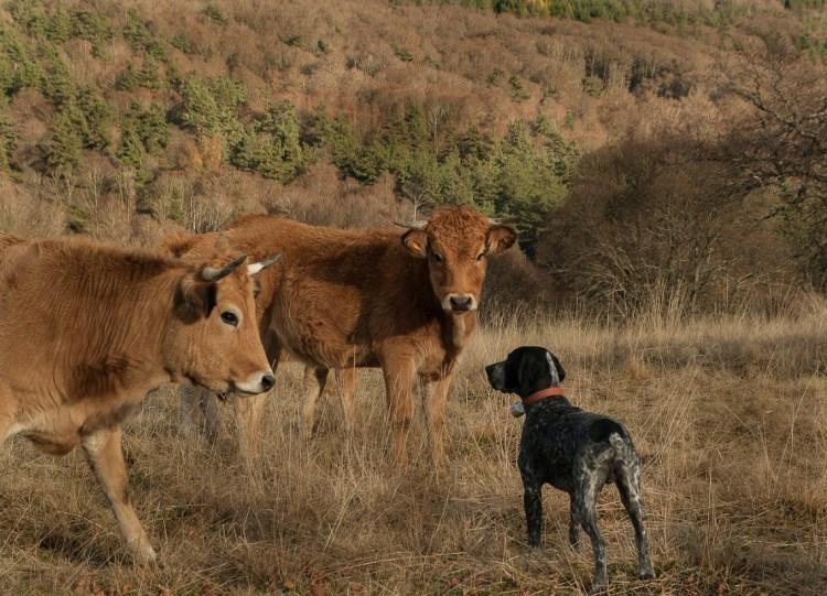 Bovini e cani, possibili alleati nella lotta contro il coronavirus -  LifeGate