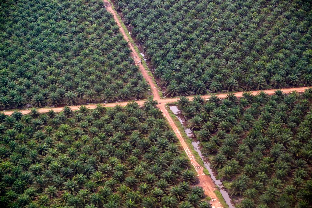Risultati immagini per palma da olio di palma