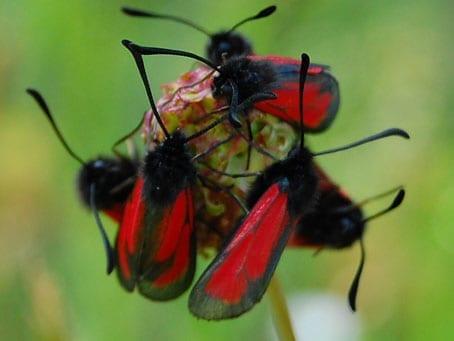 Burnett Moths
