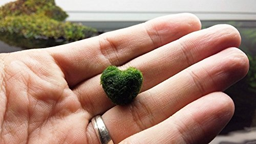 LUFFY Heart Marimo – A rare gift for your loved ones