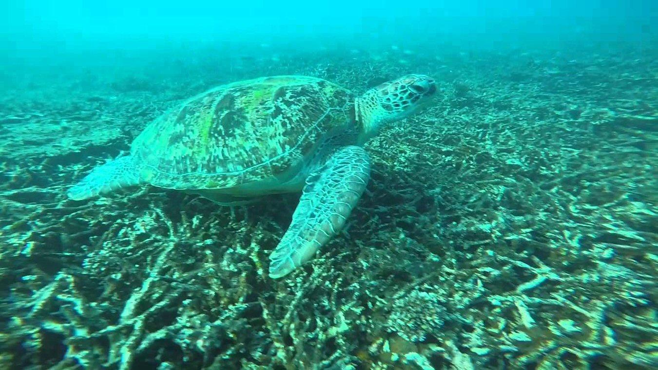 sea turtle at koh tao