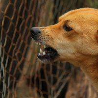 angry dog teeth growl