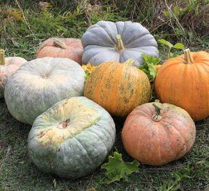 pumpkin fritters