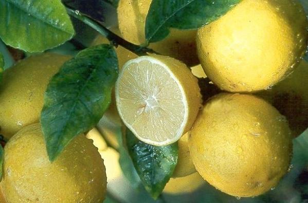 Meyer_lemon